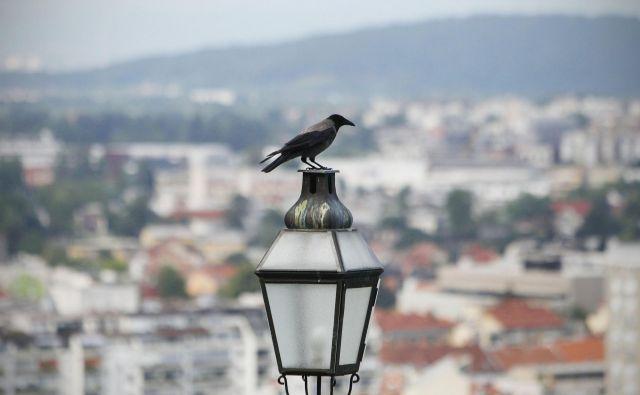 Siva vrana je pametna, velika in lepa ptica, ki pa zaradi specifičnega življenjskega sloga in neprijetnega glasu ni najbolj priljubljena. FOTO: Leon Vidic/Delo