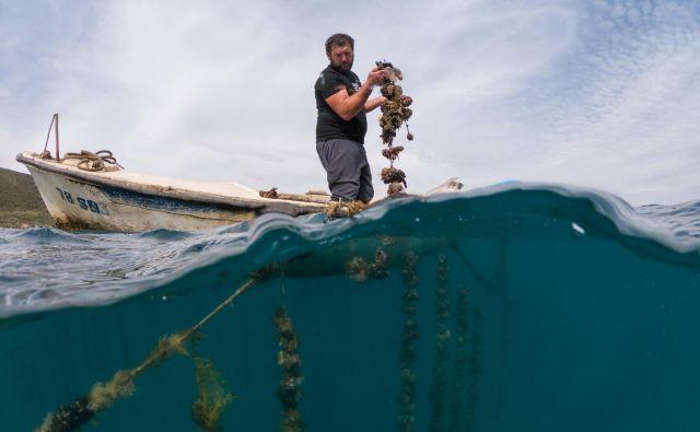 Gojitelj ostrig Zdravko Lazić preverja školjke v kraju Brijesta na polotoku Pelješac. Foto: Antonio Bronić/Reuters
