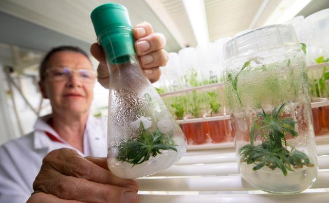 Rastlinska biotehnologinja Margit Laimer z Univerze za naravne vire in uporabne vede o življenju (Boku) na Dunaju si ogleduje cvet 32.000 let stare rastline <em>Silene stenophylla</em>. Foto Lisi Niesner/Reuters