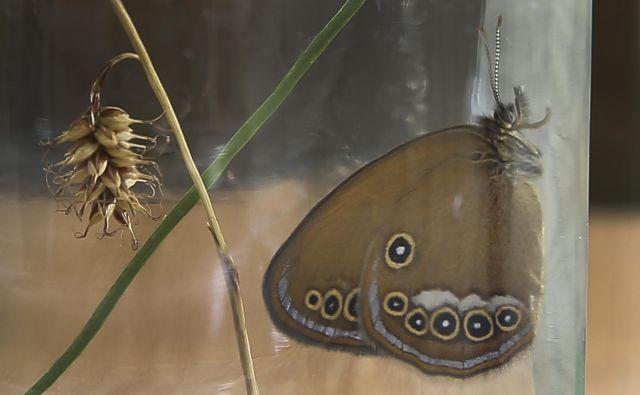 »Če je ne bi reševali, bi ta ekotip populacije zagotovo izumrl,« pravi strokovnjakinja za metulje. FOTO: Jože Suhadolnik/Delo