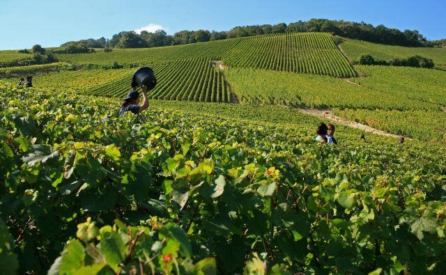 Višje temperature od konca osemdesetih let silijo vinogradnike v zgodnejše trganje grozdja. Foto Olivier Roux/Atout France