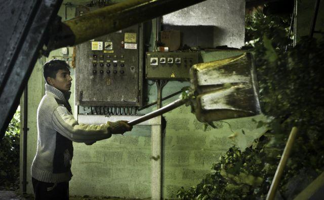Zaščitne ukrepe morajo izvajati tudi sezonski delavci, saj ob prehajanju z okuženih na neokužena hmeljišča sicer lahko širijo nevarno bolezen. FOTO: Jože Suhadolnik/Delo