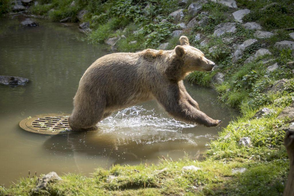 Pritožbe zadržale začetek izvajanja odstrela medvedov
