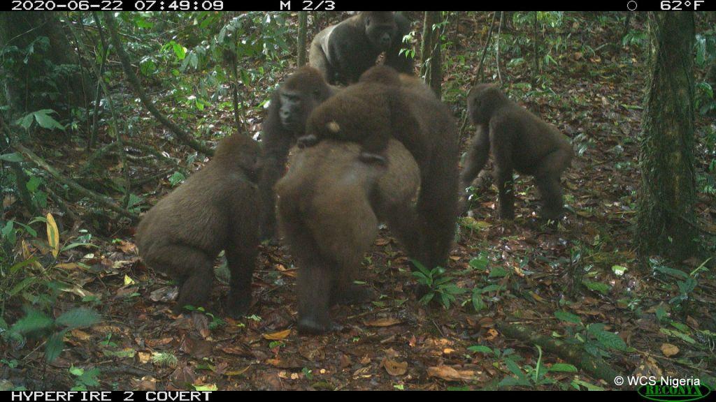 Posnetki kritično ogrožene podvrste goril