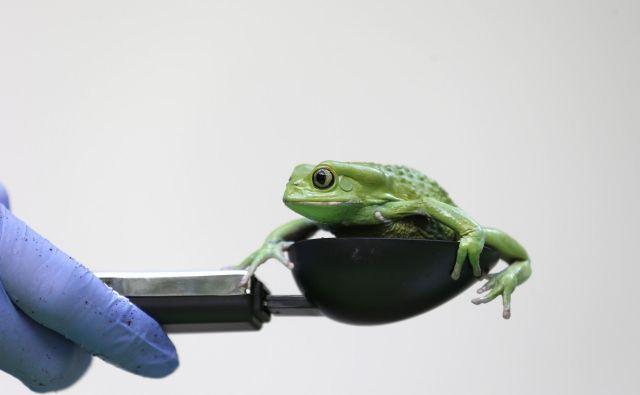 Na fotografiji je sicer drevesna žaba <em>Phyllomedusa sauvagii.</em>FOTO: Suzanne Plunkett Reuters Pictures