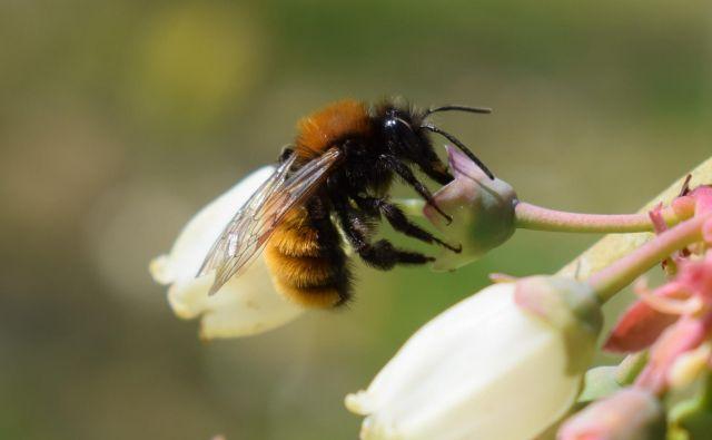 Med državami, ki so naklonjene znižanju standardov za zaščito čebel pred pesticidi, je tudi Slovenija, pobudnica svetovnega dne čebel. FOTO: Blaž Koderman