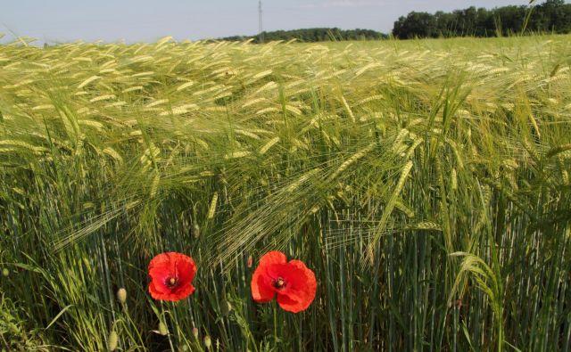 Polja na prekmurskih ravnicah. FOTO: Jože Pojbič/Delo