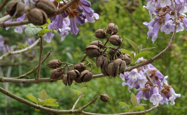 Cvetovi in plodovi pavlovnije.FOTO: arhiv zavoda Symbiosis