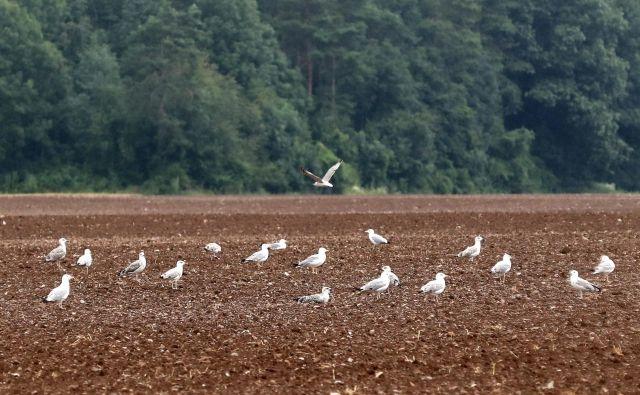 Nevsakdanji prizor na obdelovalnih površinah Kranjsko-Sorškega polja. FOTO: Dejan Javornik/Slovenske novice