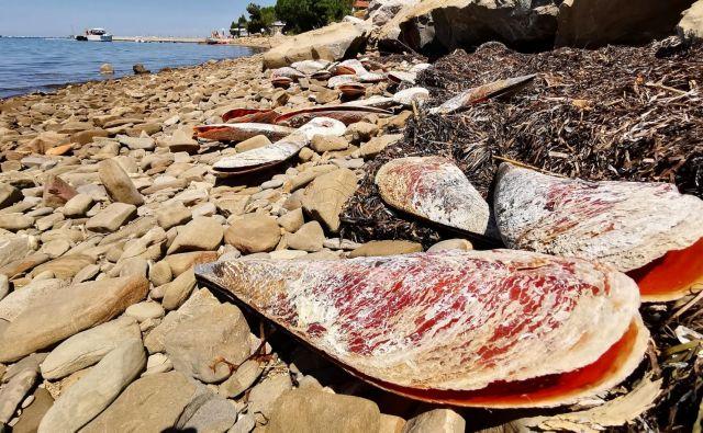 Poginuli leščurji na strunjanski obali Foto Boris Šuligoj