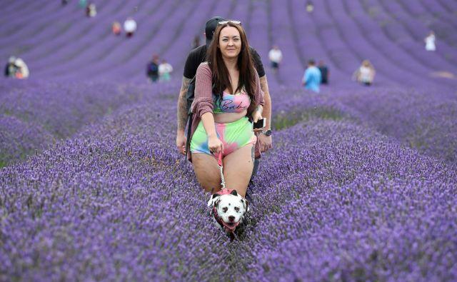 Zadnje dni je zelo priljubljena destinacija v Angliji mestece Ickleford, ki je zartadi širnih polj sivke pritegnilo ogromno turistov. FOTO: Peter Cziborra/Reuters