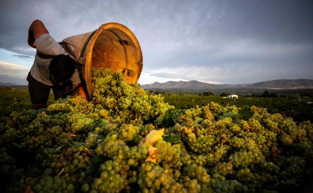 """V vinogradu v Espira-De-L&#39;Aglyju na jugu Francije že poteka prva letošnja trgatev. Vsako leto je v dolini Agly trta obsijana s soncem 300 dni na leto. Zaradi tega poteka na tem območju vsako leto najzgodnejša trgatev v Franciji, začenši s suhimi sortami belega grozdja. V Franciji letina poteka v povprečju 18 dni prej kot pred 40 leti"""", kar pa je še en v vrsti dokazov O globalneM segrevanju. FOTO. Lionel Bonaventure/Afp<br />"""