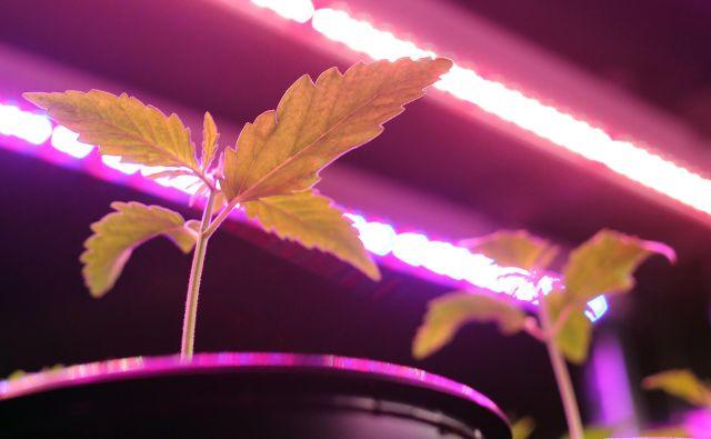 Prodaja izdelkov ni sledila pričakovanjem investitorjev po tem, ko je kanadska legalizacija proizvodnje in uporabe proizvodov s THC povzročila evforijo vlaganja v delniški sektor. FOTO: Tomi Lombar/Delo