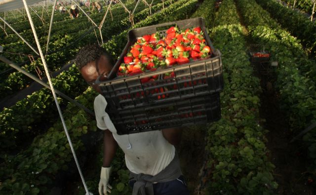 Nemška podjetja bodo morala vzdolž celotne preskrbovalne verige spoštovati pravice delavcev. FOTO: Jure Eržen/Delo