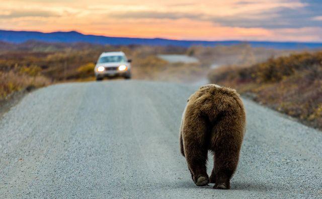 Agencija za okolje je izdala dovoljenje za odvzem 115 medvedov iz narave z odstrelom do konca septembra 2020. Foto Shutterstock