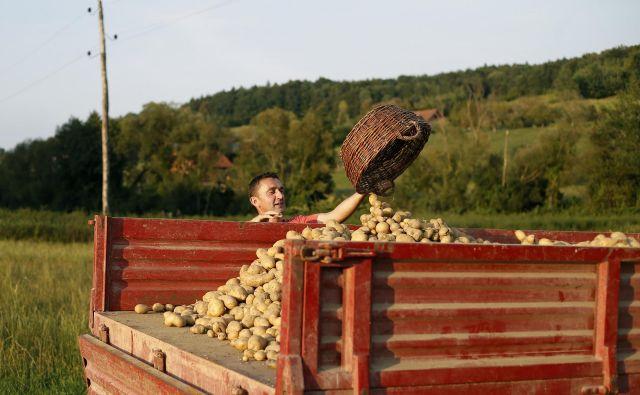 Viški krompirja, ki jih kmetje ne morejo prodati, so posledica nepovezanosti, pravi Patricija Pirnat, predsednica Zelenjavne verige in vodja proizvodnje v kmetijski zadrugi Agraria. FOTO: Blaž Samec/Delo
