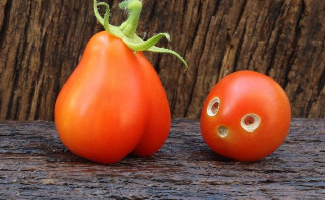 Levo plod paradižnika roma, desno debel češnjevec s poškodbami od paradižnikovega molja. FOTO: Igor Modic