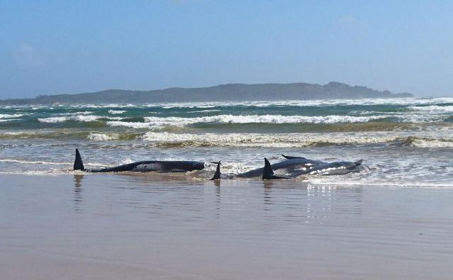 Tasmanska polcija je fotografirala nasedle kite, ocenjujejo, da jih je okoli 250, mnogi so že poginili. FOTO: AFP