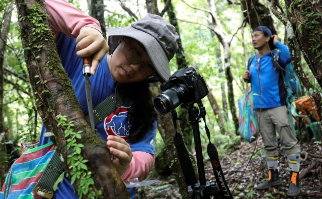 Zbiranje mahu terja veliko mero potrpežljivosti, natančnosti in znanja. FOTO: Ann Wang/Reuters