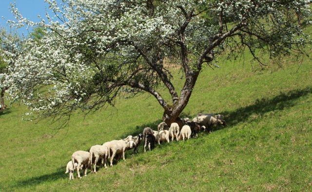 Travišča je mogoče ohranjati s košnjo, pašo in sadovnjaki. FOTO: arhiv ZRSVN