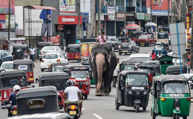 Pogled na prometno ulico v Colombu, glavnem mestu Šrilanke, kjer so sloni na cesti še vedno nekaj precej običajnega. FOTO: Lakruwan Wanniarachchi/Afp<br />