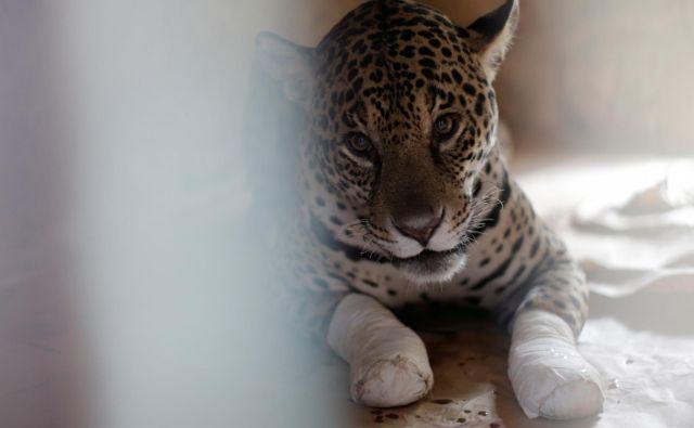 Samica jaguarja Amanaci je utrpela hude opekline. Z matičnimi celicami jo zdravijo v nevladni organizaciji NEX Institute v brazilski zvezni državi Goias. FOTO: Ueslei Marcelino Reuters