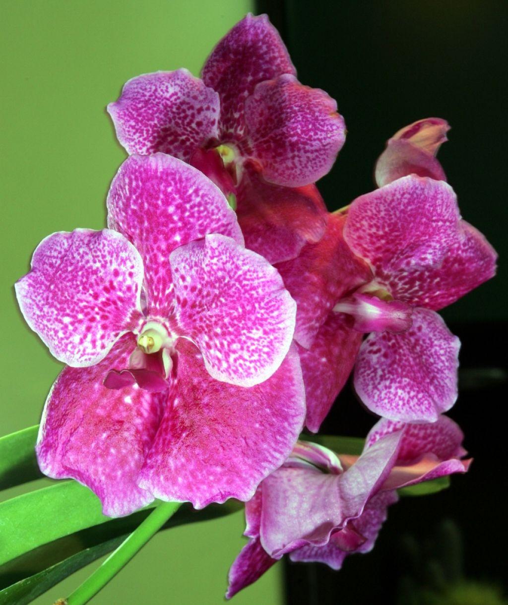 Deloindom: Najzanimivejši primerki orhidej z vsega sveta