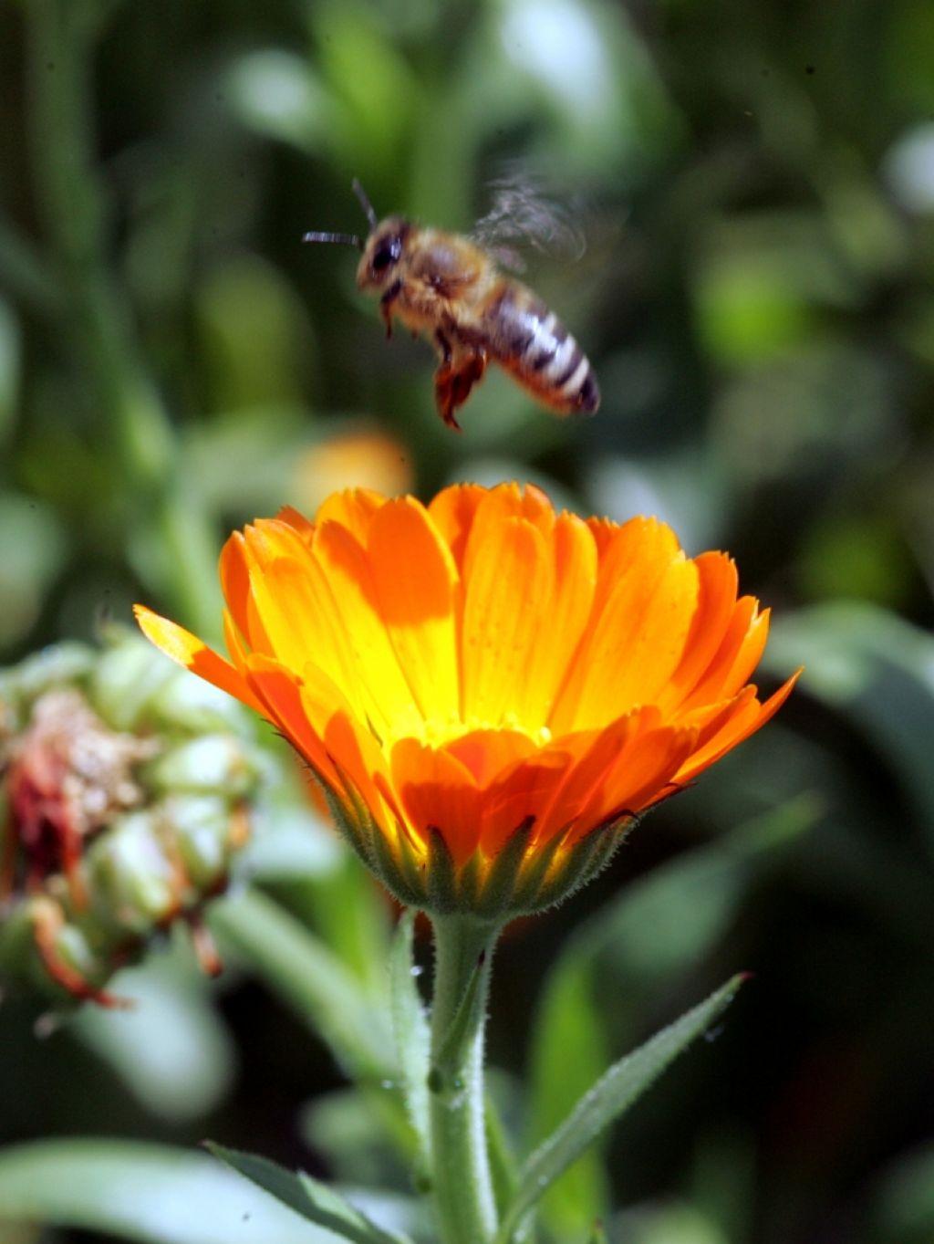 Nacionalni program za zaščito kranjske čebele