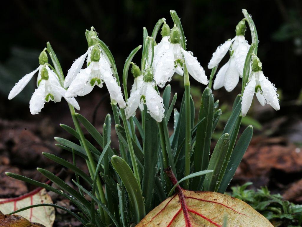Izvoz pomladi: slovenski zvončki za Angleže