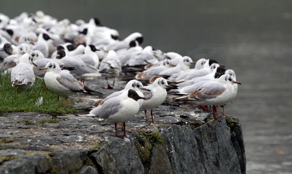 Na Ptujskem jezeru poginili rečni galebi
