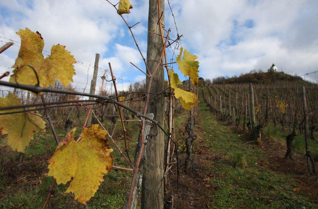 Za parcele z vinogradom 800 evrov letne najemnine