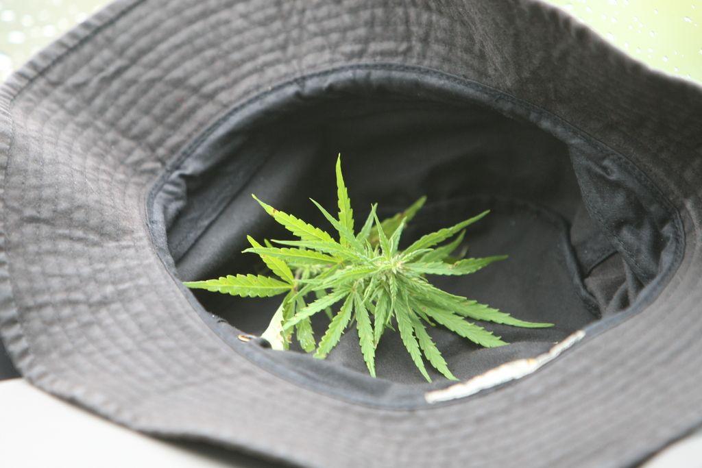 Politika še negotova glede legalizacije konoplje