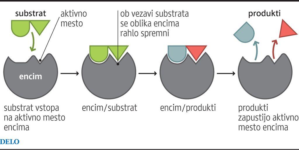 Skrivnostno življenje in delovanje encimov