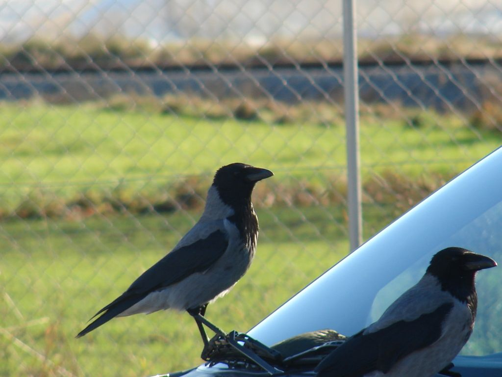 V urbanih naseljih se vrane dobro počutijo