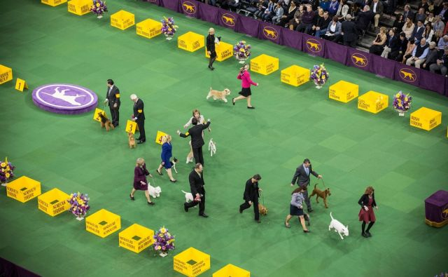 US-DOGS-COMPETE-IN-THE-139TH-ANNUAL-WESTMINSTER-KENNEL-CLUB-DOG-