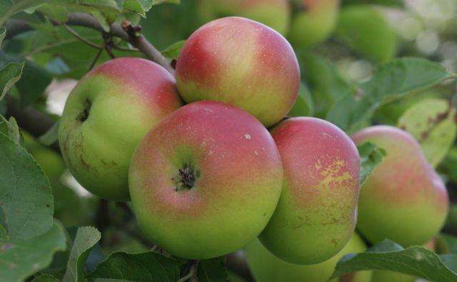 imo-Jabolka