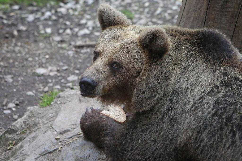 Za odvzem iz okolja letos predvidenih 113 medvedov in 10 volkov