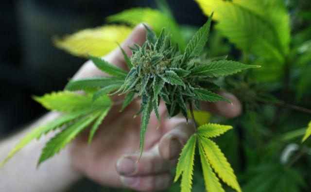 reu marihuana