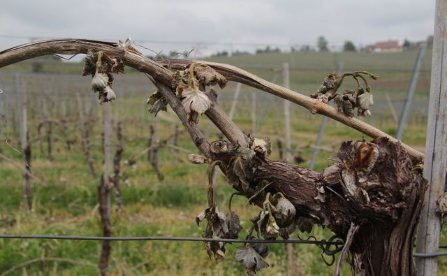 jpo-Pozeba v vinogradih