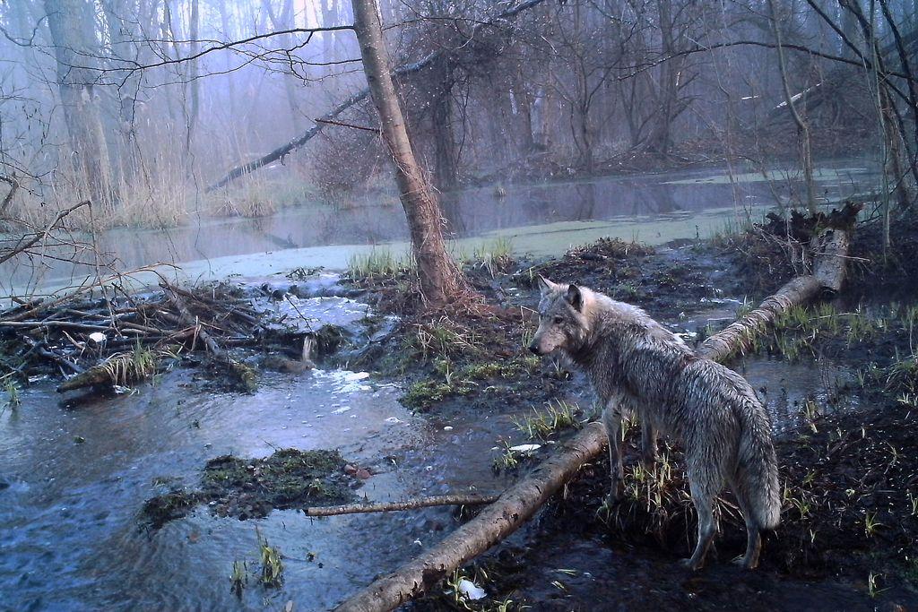 Černobil – preizkusni teren za trdoživost narave