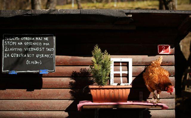 Miroljubna kmetija - Zavod Koki. Kokoš Frida na domačem vrtu. Gorenjska, Slovenija 3.marca 2015.