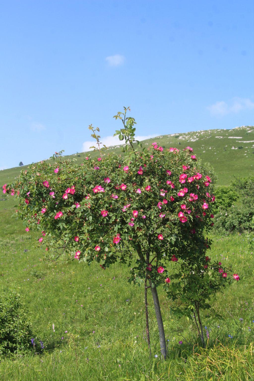 Kabinet čudes: Poletje, ujeto v šipkovem cvetu
