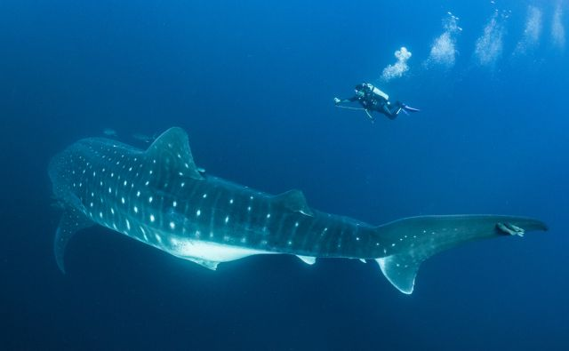Few animals are as enigmatic as the whale shark. Globally threatened, almost all of the scientific information available on the species pertains to the juvenile males typically found in coastal waters. To see the real giants, such as this pregnant