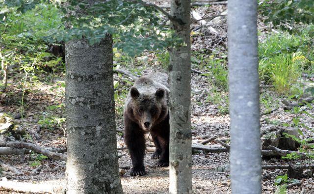 Medved na krmišču v snežniških gozdovih.Mašun 16, 07,2015