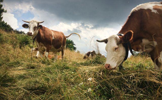 Krave med pašo na Šmarni Gori, Slovenija 13.julija 2016. [krave,goveda,živali,govedoreja,živinoreja,kmetije,paša,travnik,trava,motivi]