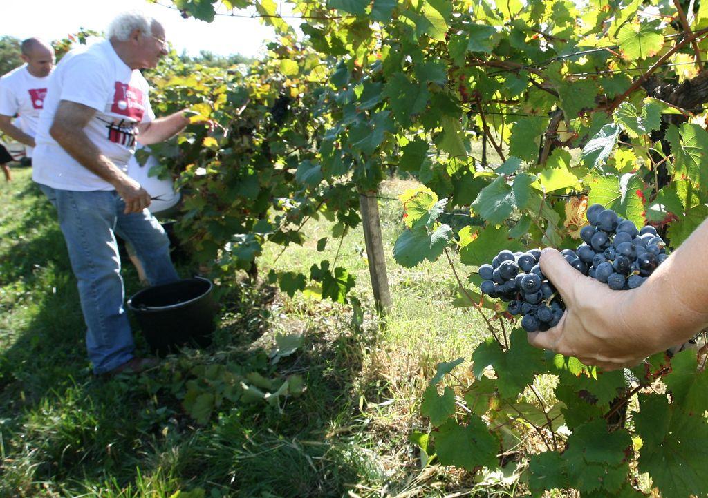 Sivi vinski trg še vedno trn v peti vinarjev