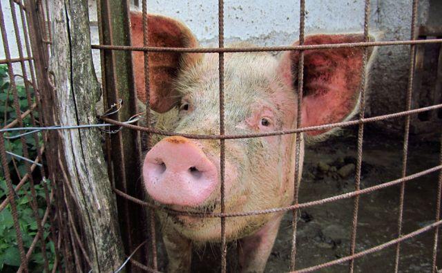 Domača svinja 23.08.2015 [kmetije,Robidišče,prašiči]