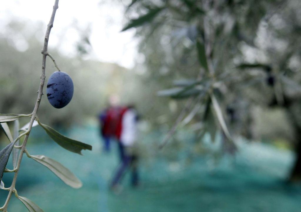 Olje Istra bo skupno – slovensko in hrvaško