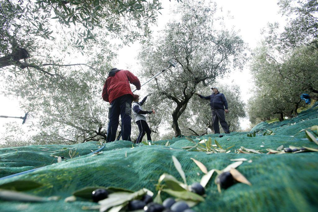 Iz-povedno: Bo oljčna zgodba drugačna od teranove?