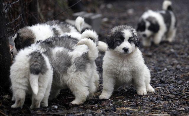 Bosansko hercegovski pastirski pes - Tornjak. Jurišče 3.2.2017[Tornjak.pastirski pes.Juršče]